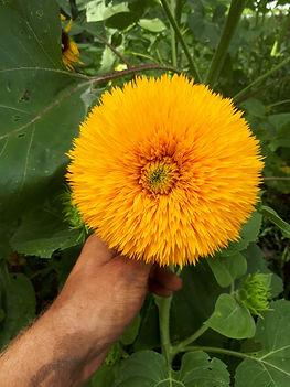 teddy bear sunflower.jpg
