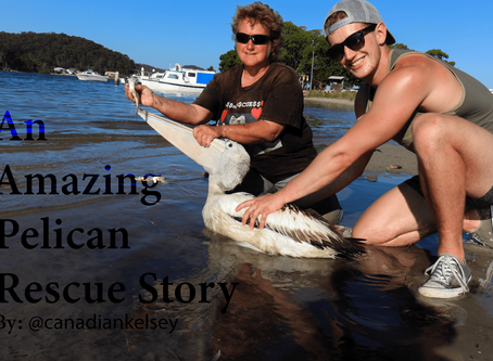 An Amazing Pelican Rescue Story