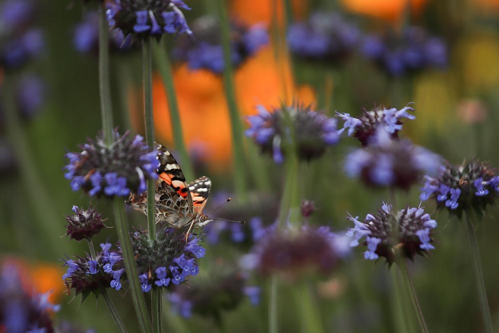 walker canyon,lake elsinore,california golden poppy, california wildflowers, socal,macro photography, dew drops, butterfly