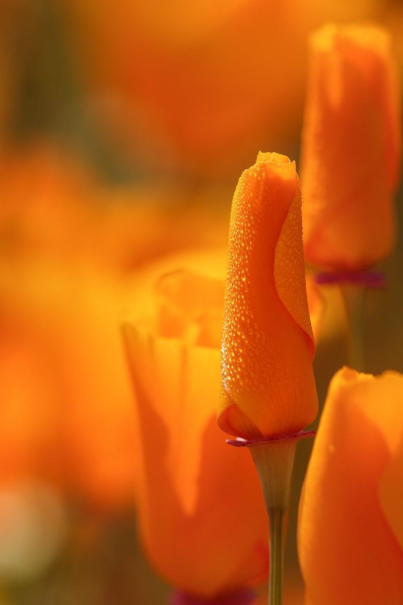 walker canyon,lake elsinore,california golden poppy, california wildflowers, socal,macro photography, dew drops
