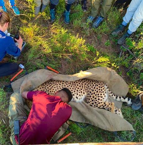 Cheetah Anaesthetics