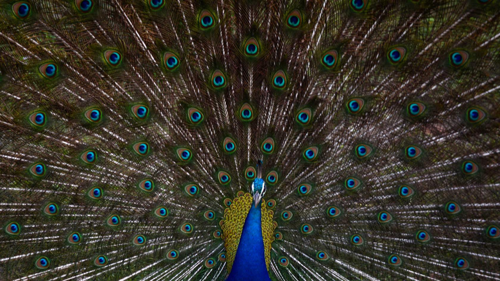 Classic Peacock