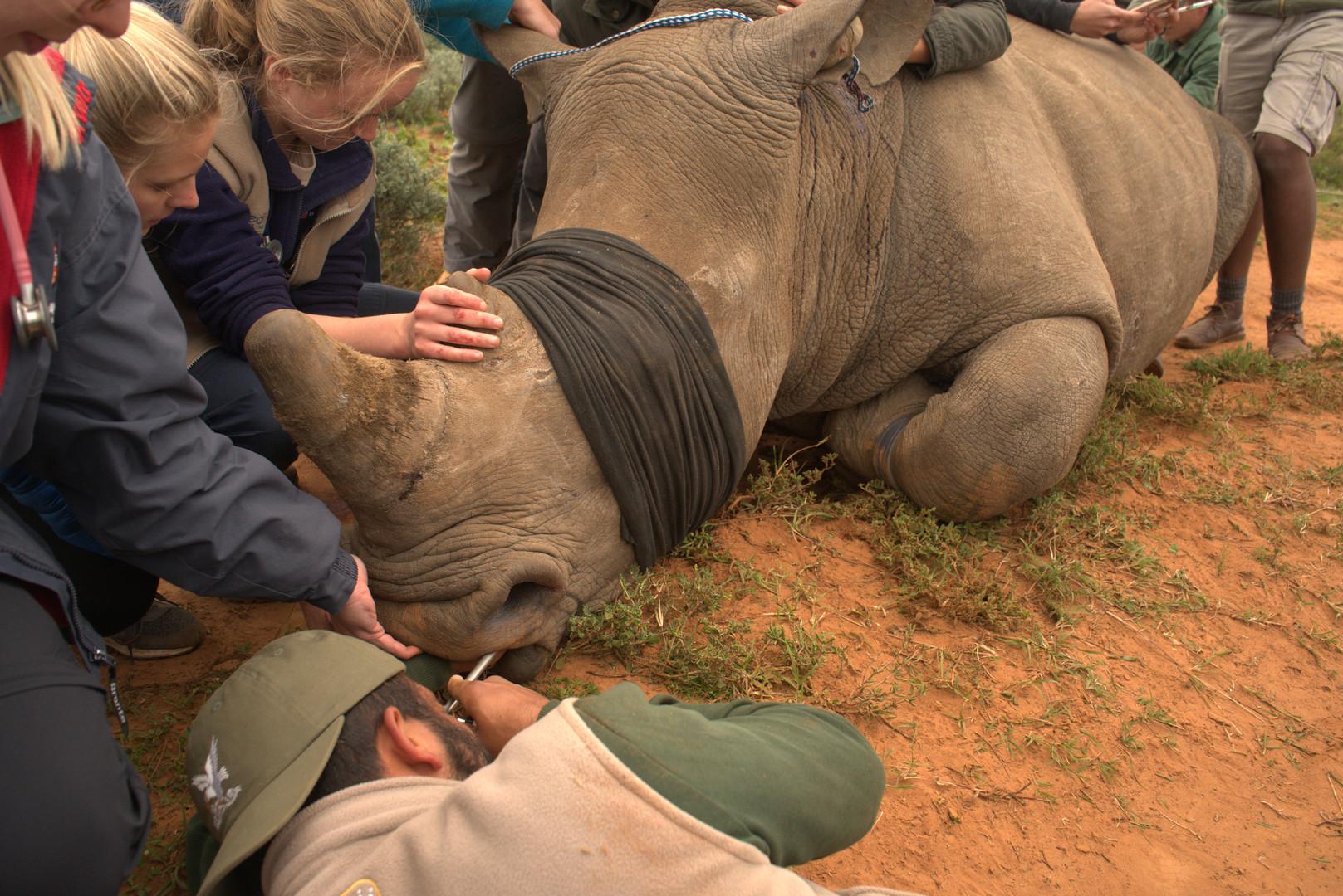 Examining a Rhinos Mouth