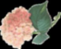 pink hydrangea The Tea Party Company