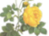 Yellow Roses The Tea Party Company Home Page