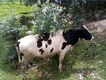 cow 1.png