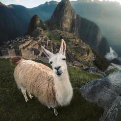 Llama Perju.jpg