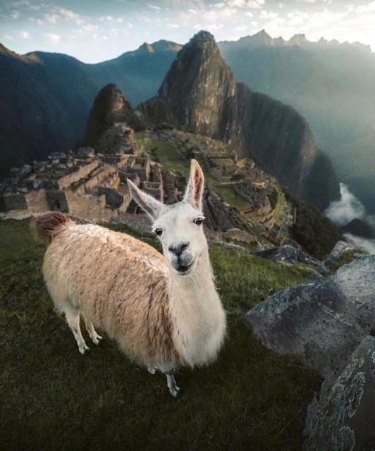 A llama standing on top of Machu Picchu