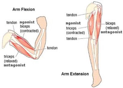 arm flexion.jpg