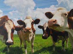 Koeien in wei