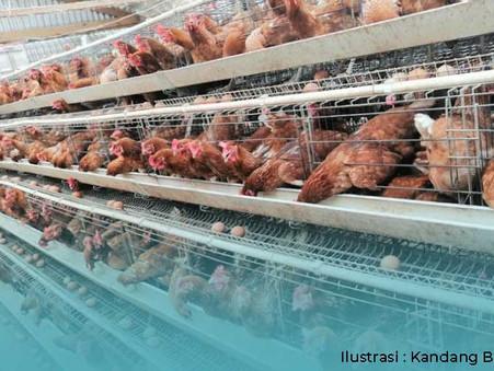 Beralih ke Telur Cage Free, Telur Sehat dari Ayam yang Lebih Sehat!