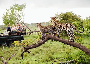 Cheetahs on Safari