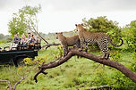 Safari goers sighting leopards in Africa