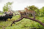 Safari goers sighting leopards in Africa