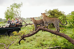Cheetahs on Safari