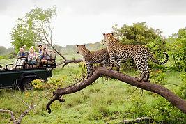 Geparden auf Safari