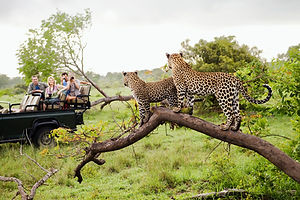 Cheetahs op Safari