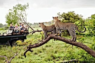 Guépards sur Safari