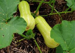 Légumes_du_jardin