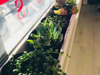 新しい多肉植物♪