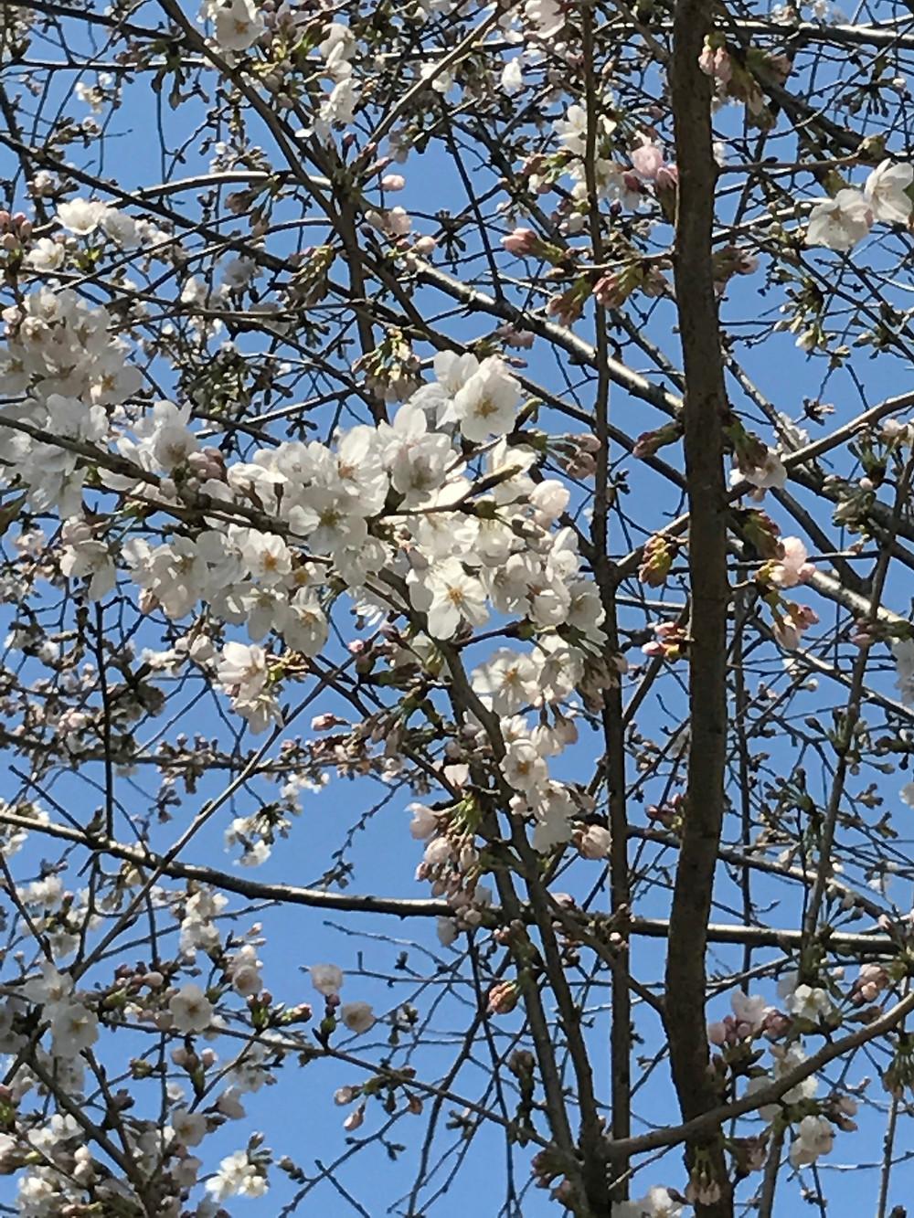 今年の桜の時期は長くなりそうですね♪