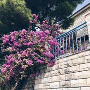 Lavender in Split