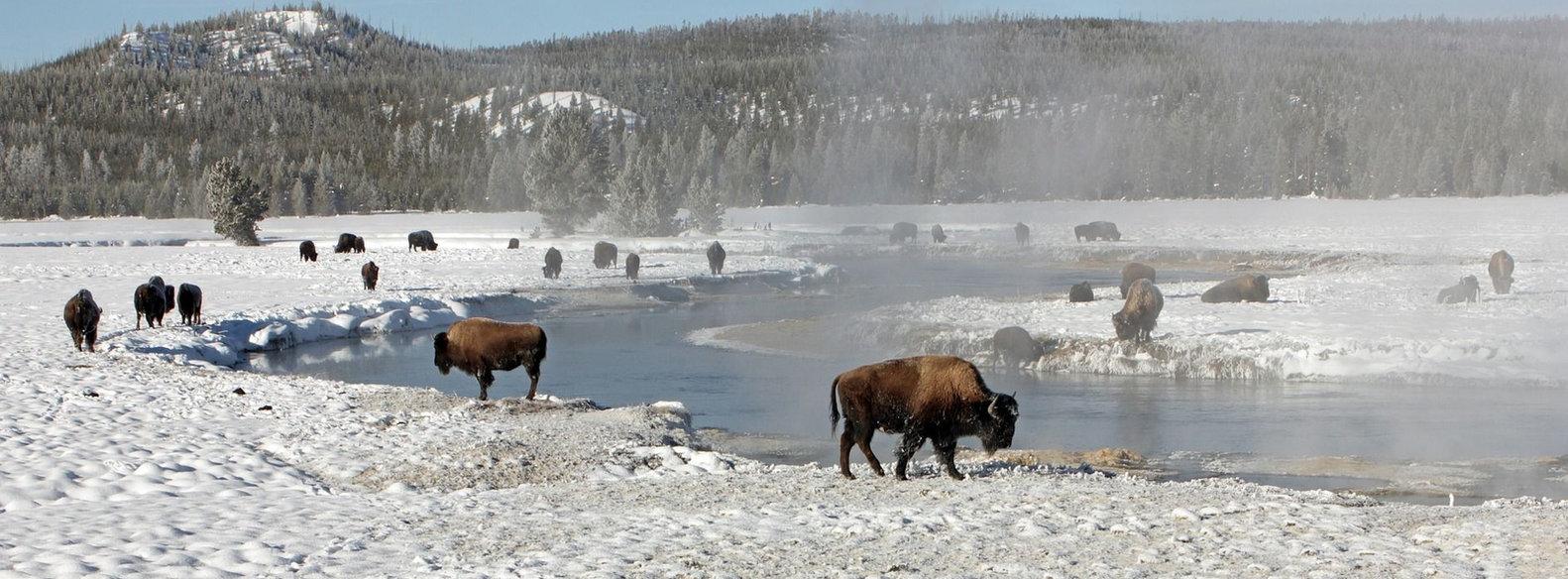 Bisons du pac de Yellowstone