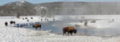 Bisons du pac de Yellowstone