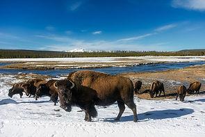 Troupeau de Bisons à Yellowstone