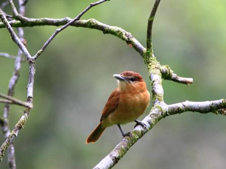 Confirman lenguaje en el canto de las aves