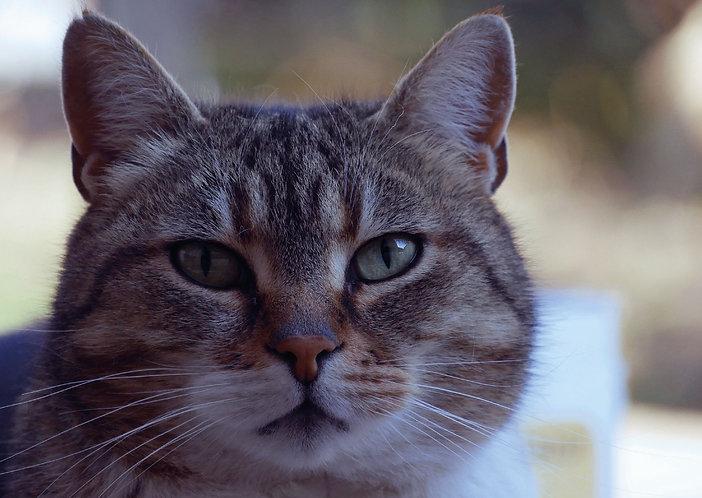 Cat Portrait - Postcard
