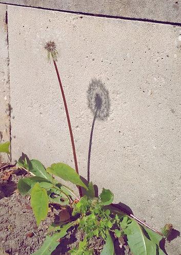 Dandelion - Flower Postcard