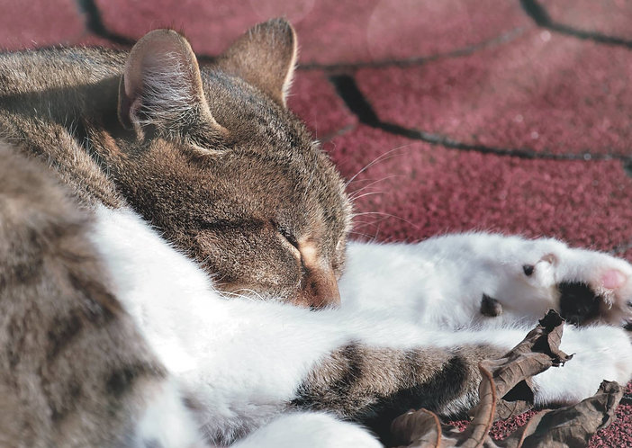 Sleeping Cat - Postcard