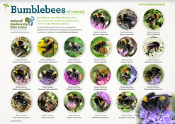 POSTER_Bumblebees_POSTER.png