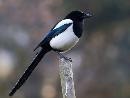 How To Train With A Magpie Brain- Successful Training With ADHD