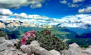 Potentilla Nitida Fiori Flora Trekking D