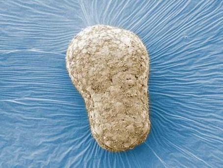 Modelo de embrião humano mostra uma fase nunca observada da vida
