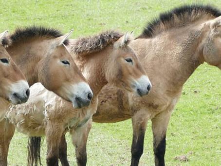 Cavalo selvagem ameaçado de extinção ganha clone perfeito