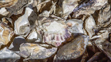 IRWD Supports Native Oyster Restoration Program