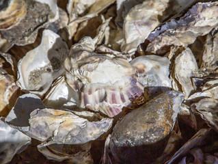 IRWD Supports Native Oyster Restoration Program