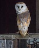 Barn Owl_Susan Barry [126].jpg