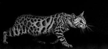 Bengal Cat_Susan Barry [126].jpg