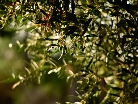 Как едят оливки