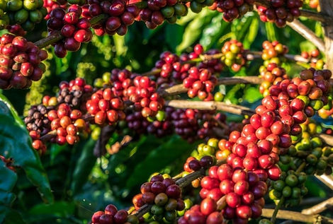 Red Robusta coffee beans