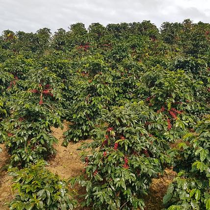 Arabica Bourbon coffee Vietnam
