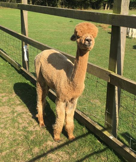 Paca Punch Moat Alpacas  Weekend 20th August