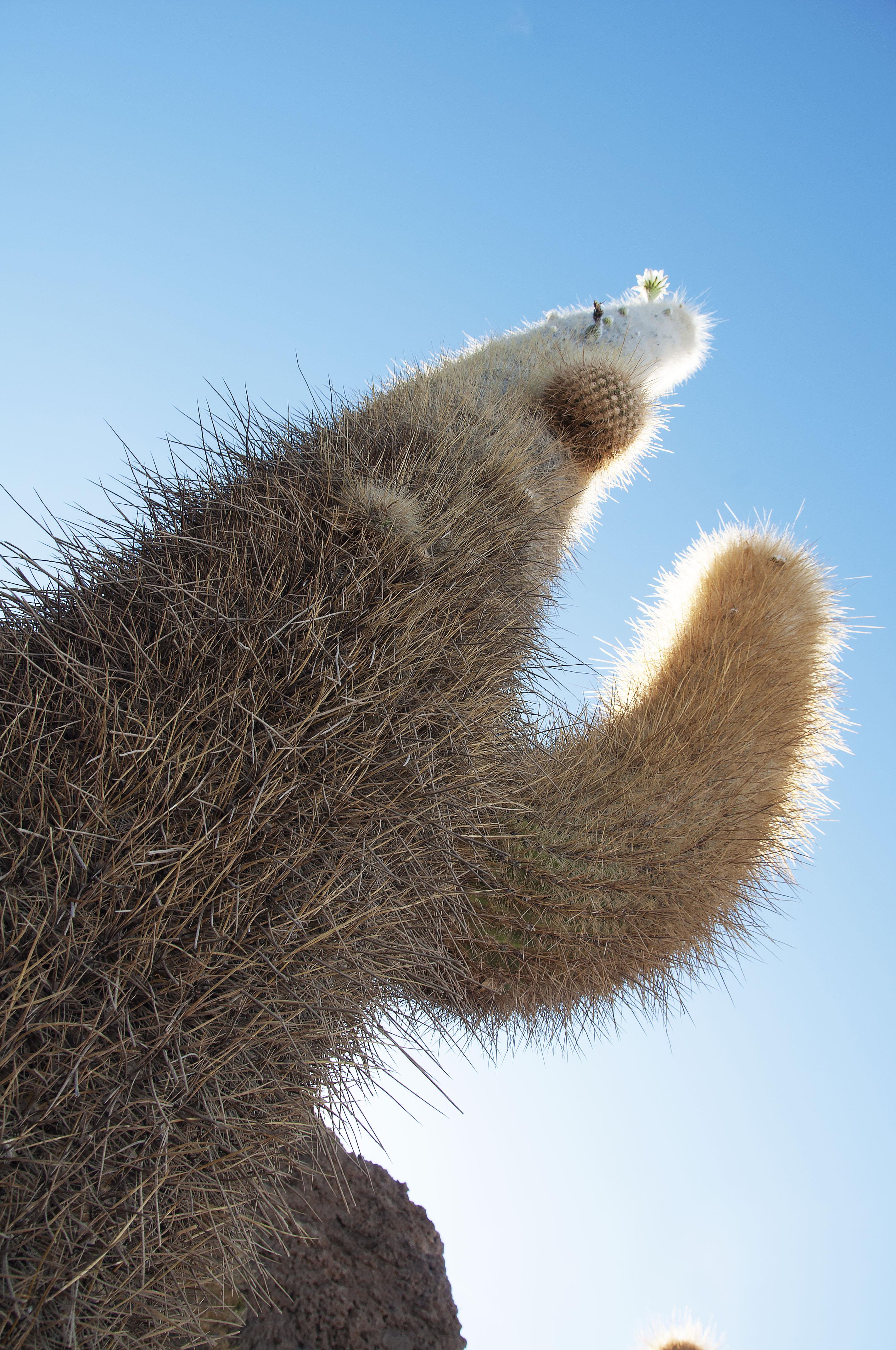 Giant Cactus, Uyuni Salt Flats