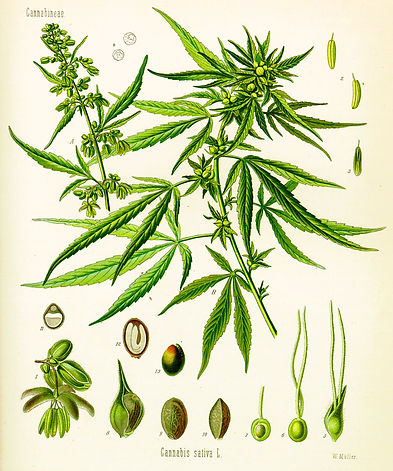 Cannabis_Four.jpg