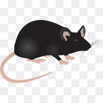 代做老鼠實驗