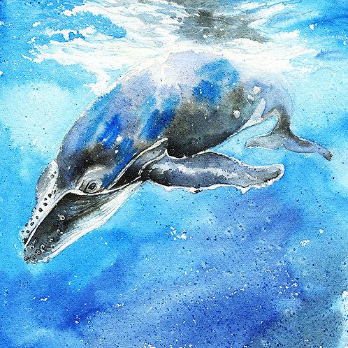 """""""Curious"""" Humpback Whale Culf"""
